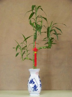 Lucky Bamboo - Large