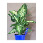 Dieffenbachia 130mm Pot