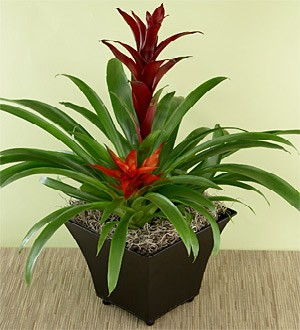 Bromeliad In Feature Pot