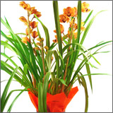 Orchid Cymbidium Orange