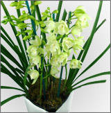 Orchid Cymbidium White