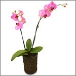 Phalaenopsis Orchid - Large Potted Pinks